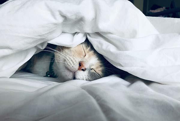 Cat Sleeping Under a Duvet