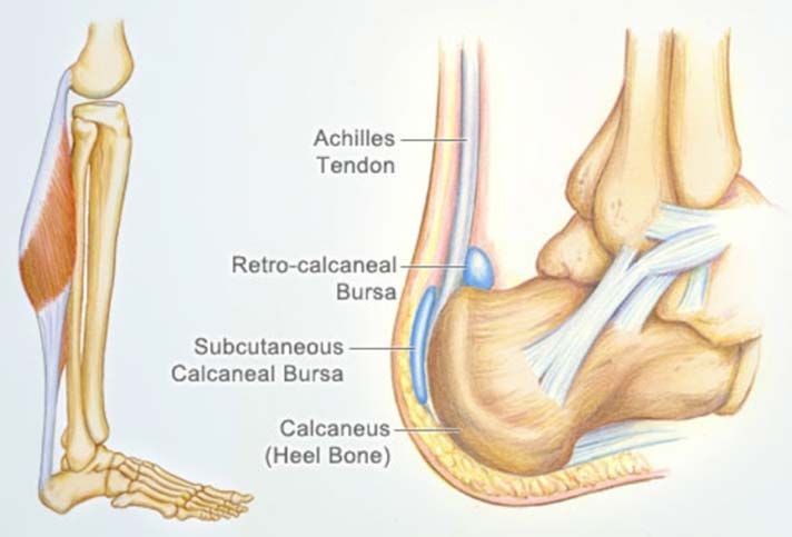 Anatomy of the Achilles Tendon